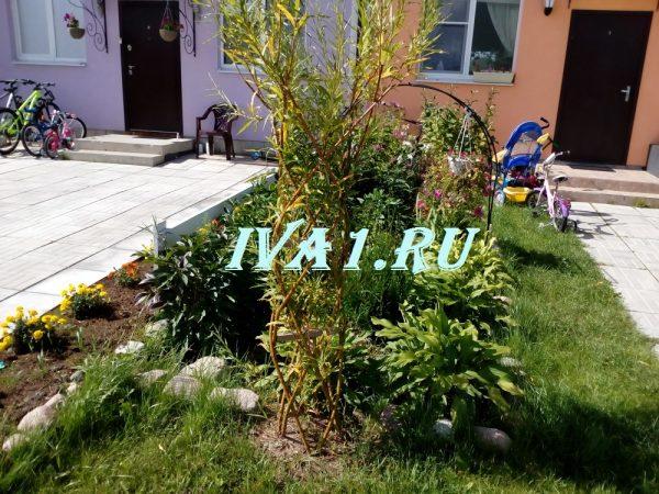 плетеная ива дерево купить