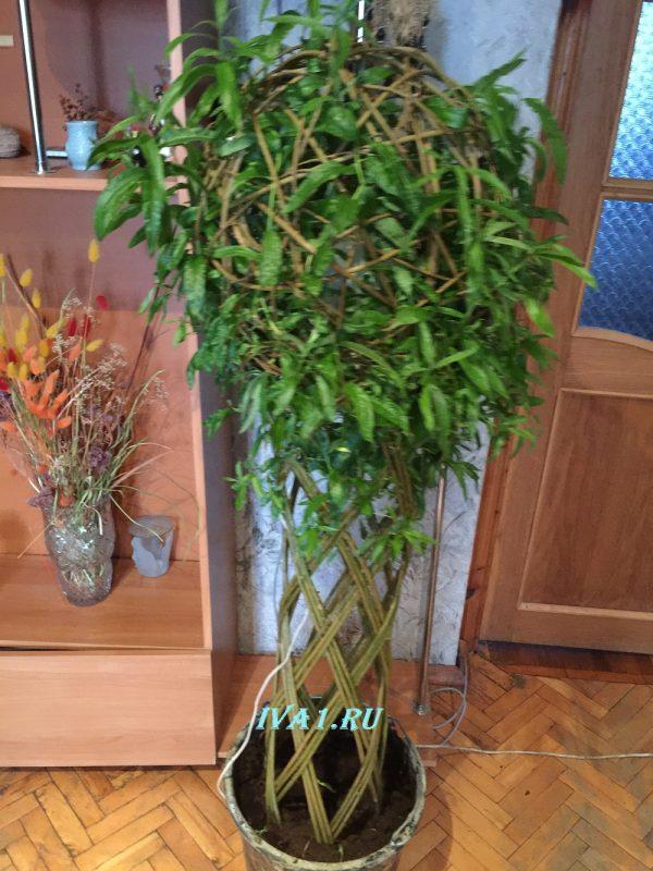плетёное дерево ива