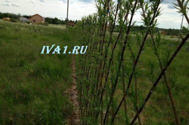Приживаемость живой изгороди из ивы, сорт древовидный.