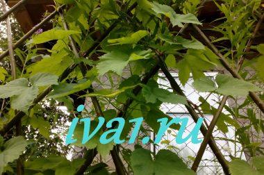 Подсадка хмеля к живой изгороди из ивы.