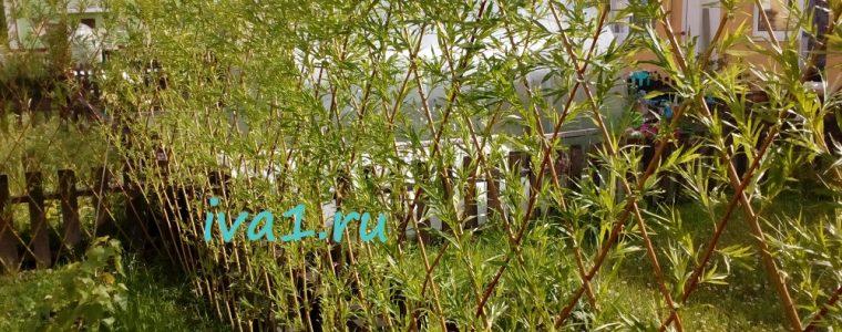 живая изгородь из ивы через месяц после посадки