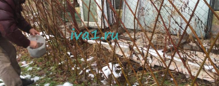 подкормка живой изгороди из ивы
