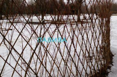 Морозостойкая живая изгородь из ивы
