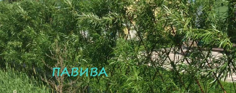 живая изгородь из черенков ивы